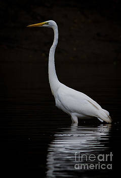 Great Egret the Fourth by Douglas Stucky