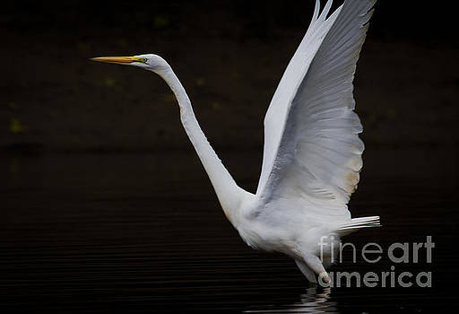 Great Egret the second. by Douglas Stucky