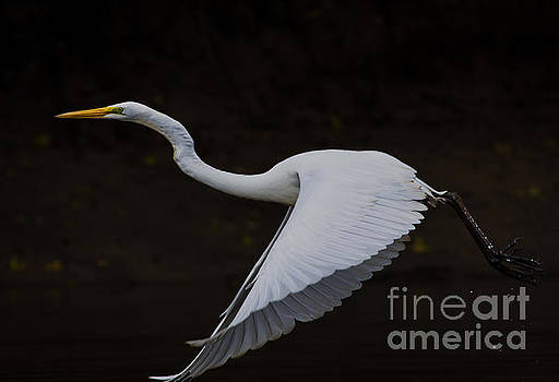 Great Egret the third. by Douglas Stucky
