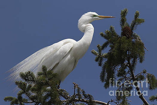Great Egret by Ursula Lawrence