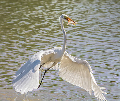 Great Egret with Fish by Tam Ryan