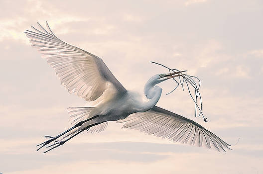 Great Egret with nesting material by Brian Tarr