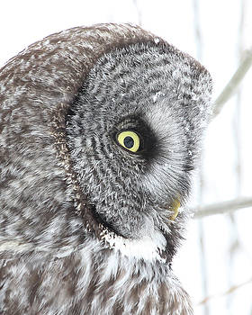 Great Gray Owl Close-up by Doris Potter