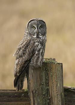 Great Gray Owl by Doug Herr