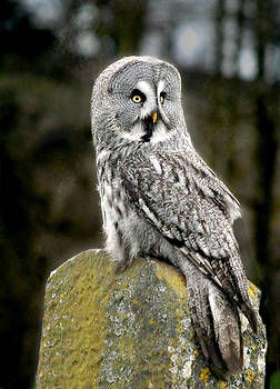 Great Grey Owl on a Post by Bev Brown