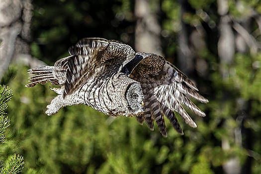 Great Grey Owl W1422  by Wes and Dotty Weber