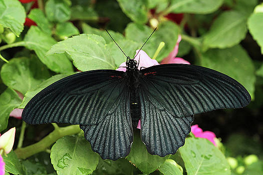 Great Mormon Butterfly by Judy Whitton