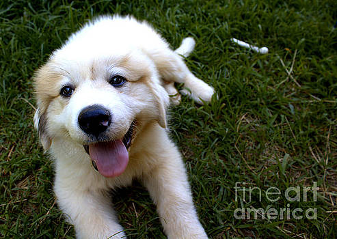 Great Pyrenees Puppy by Pete Dionne