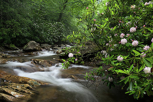 Great Smoky Mountains Rosebay Rhododendron by Mark VanDyke