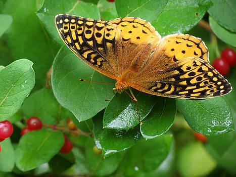 Great Spangled Fritillary by Azthet Photography