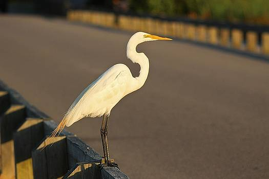 Paulette Thomas - Great White Egret Crossing The Road