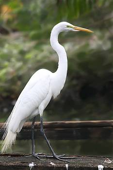 Great White Egret by Diane Merkle