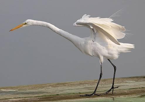 Paulette Thomas - Great White Egret Ready For Flight