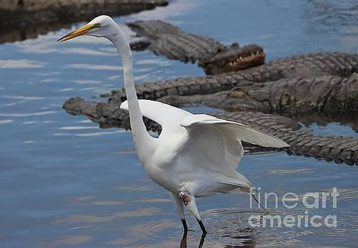 Paulette Thomas - Great White Egret with Gators