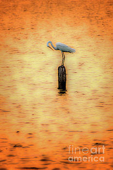 Dan Carmichael - Great White Heron on Currituck Sound Outer Banks