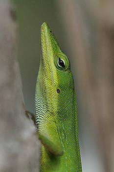 Green Anole by Doris Potter