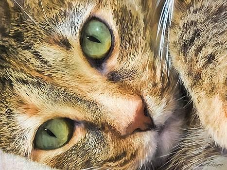 Green Eyed Tabby Cat by Melissa Bittinger