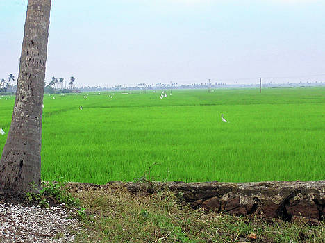 Green fields with birds in Kerala, India by Ashish Agarwal