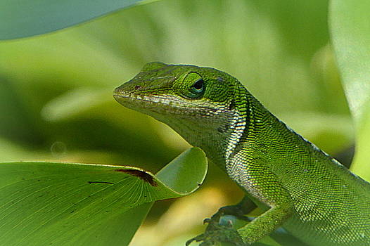 Green Gecko on Green Leaves by Lori Seaman