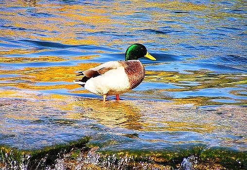 Green Head Duck by Oleg Zavarzin