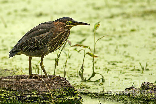 Green Heron Concentration by Natural Focal Point Photography