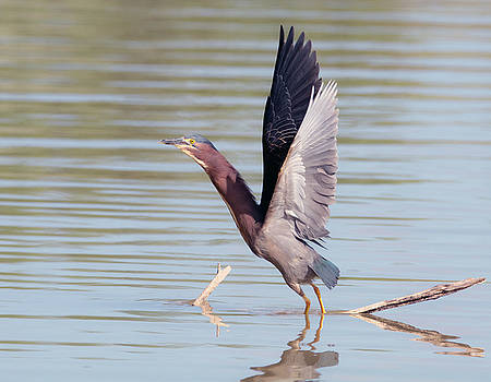 Green Heron Lift Off by Tam Ryan