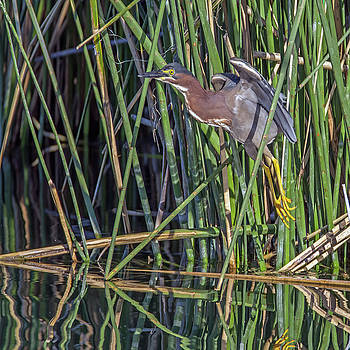 Green Heron Liftoff by Tam Ryan