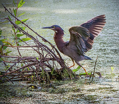 Green Heron Wingspread by Brian Wallace