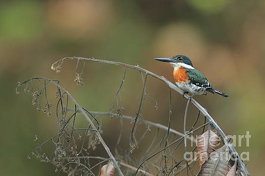 Green Kingfisher in Costa Rica by Juan Carlos Vindas