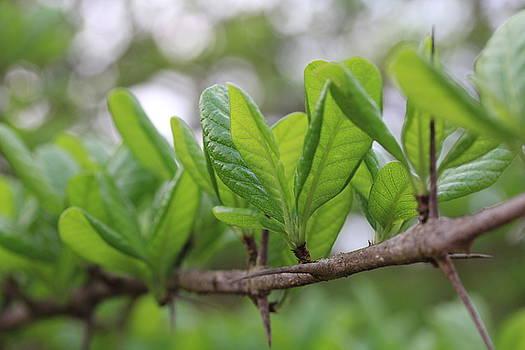 Green Leaves by Santosh Jaiswal