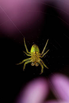 Green spider by Jouko Mikkola
