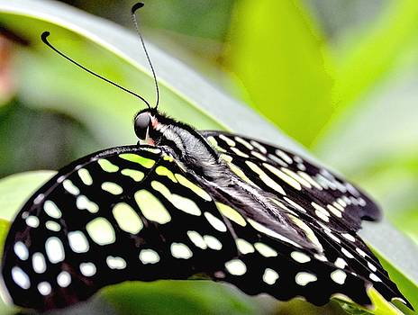 Green Spotted Tailed Jay Butterfly by Amy McDaniel