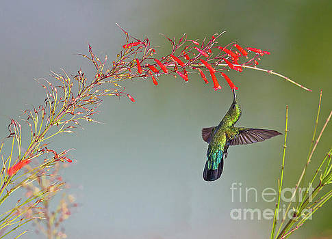 Green-throated Carib by Jean-Luc Baron