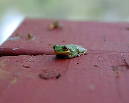 Green Tree Frog by Robert Meanor