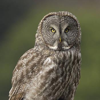 Great Gray Owl portrait by Doug Herr