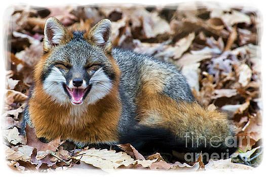 Dan Friend - Grey fox smiling