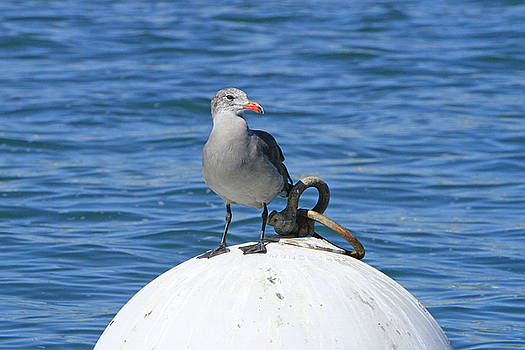 Grey Gull by Shoal Hollingsworth