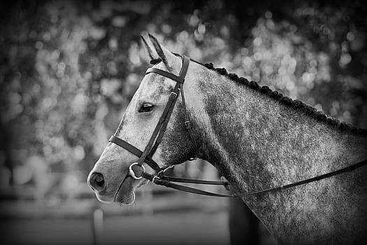 Michelle Wrighton - Grey Show Horse in Black and White