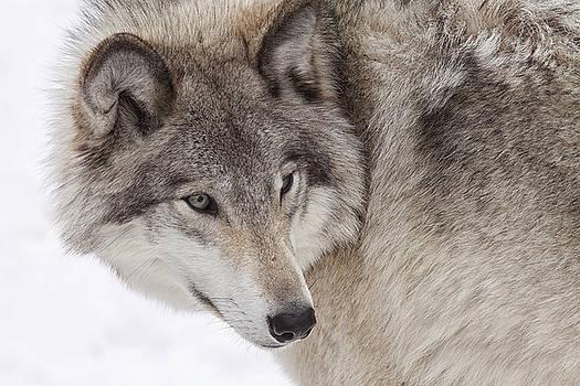 Grey Wolf by Eunice Gibb