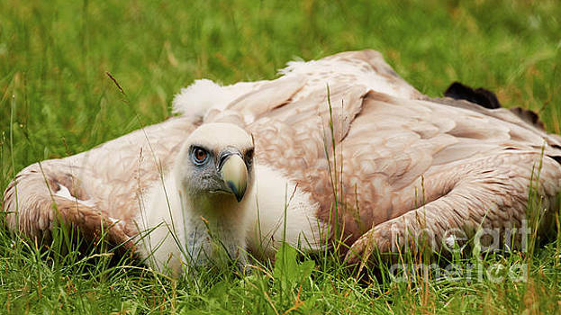 Griffon vulture by Nick Biemans