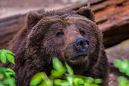 Grizzly Bear by Glenn McGloughlin