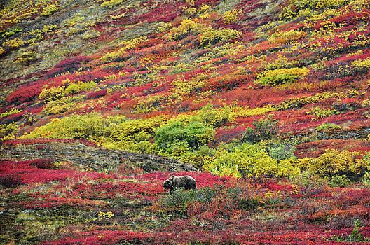 Grizzly Feast - Denali National Park - Alaska by Bruce Friedman
