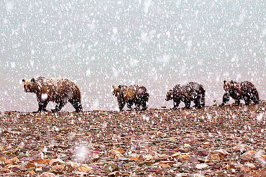 Grizzly Sow and 3 Cubs by Bill Keeting