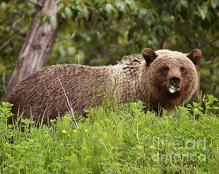 Grizzly With A Dandelion by Stanza Widen