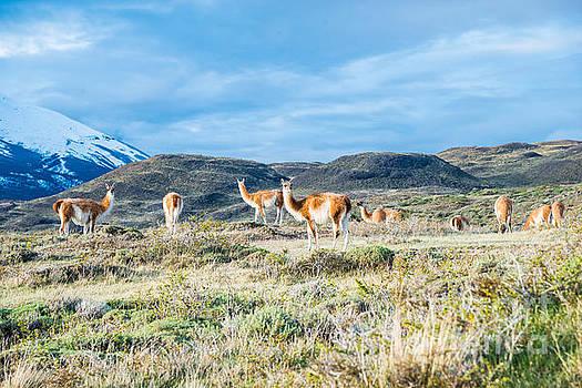 Guanaco in Patagonia by Jim DeLillo