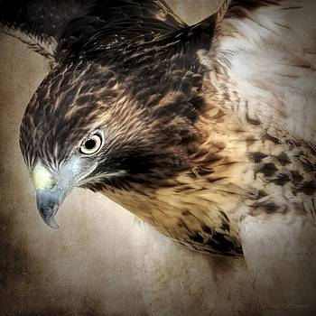 Guarded, Red Tailed Hawk by Melissa Bittinger