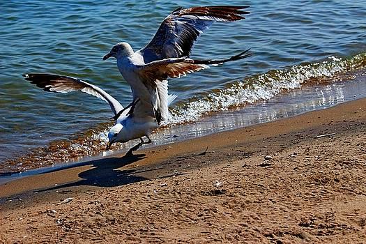Gull Fight by Amanda Struz