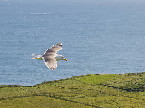 Gull flying over the Sky Road, Clifden by Deborah Squires