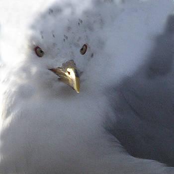 Gull by Tom Romeo