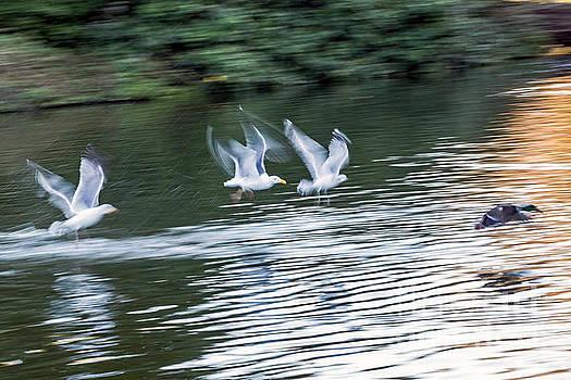 Gulls Chase Mallard by Kate Brown